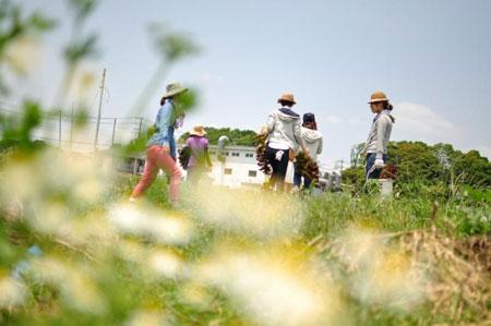 ローマンカモミールが花咲く畑にて
