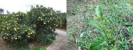 柚の苗木 柚農園風景